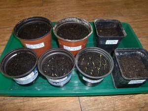 Chilis anbauen