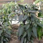 Chilis-anbauen-10