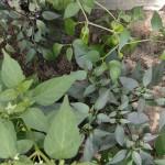 Chilis-anbauen-6