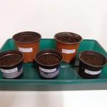 Chilis-anbauen-9